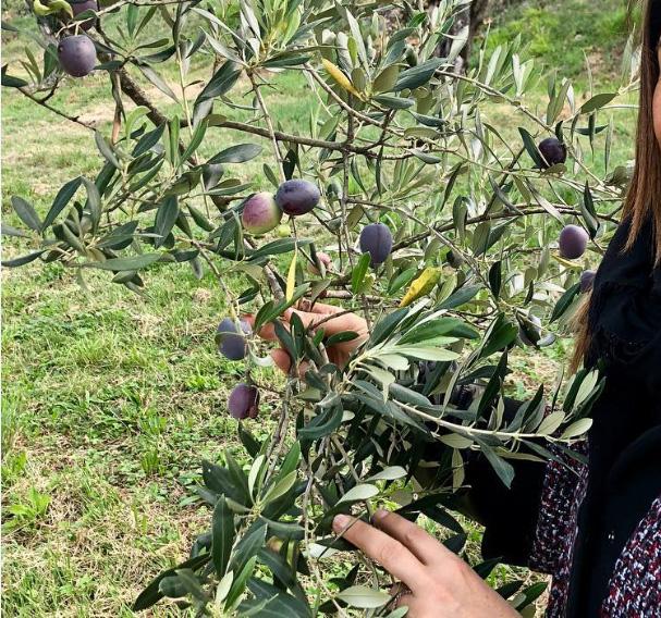 サルバーニョのオリーブ畑