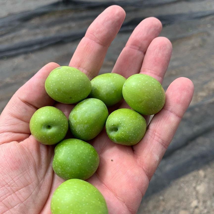 相性の良いオリーブの品種